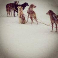 Hundspann på gång