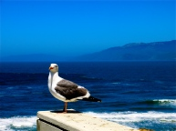 Seagull in California